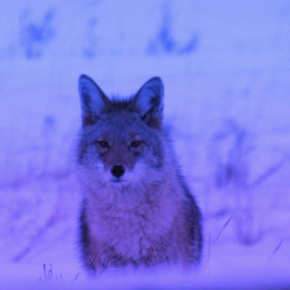 Winter Coyote - Camp Chief Hector, Canmore, Canadian Rockies